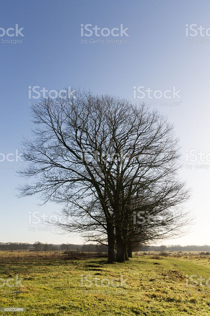 bald trees, no leafes stock photo