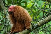 Bald uakari on a branch in rainforest, Peruvian Amazon.