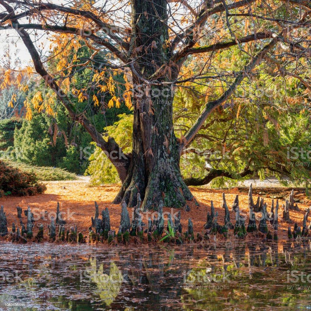 Bald-Cypress stock photo