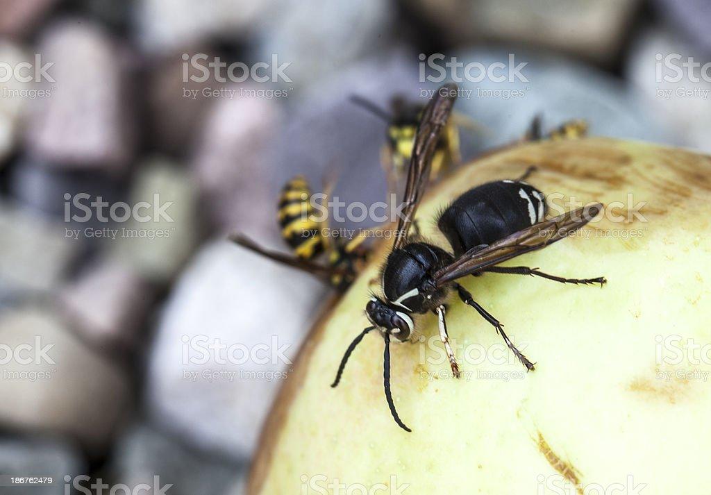 Bald-faced Hornet stock photo