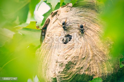 istock Bald-Faced Hornets in Hive 1333372167