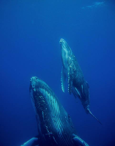Baleine et petit - Photo