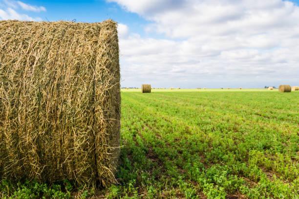 bales of alfalfa in the field in summer - erba medica foto e immagini stock