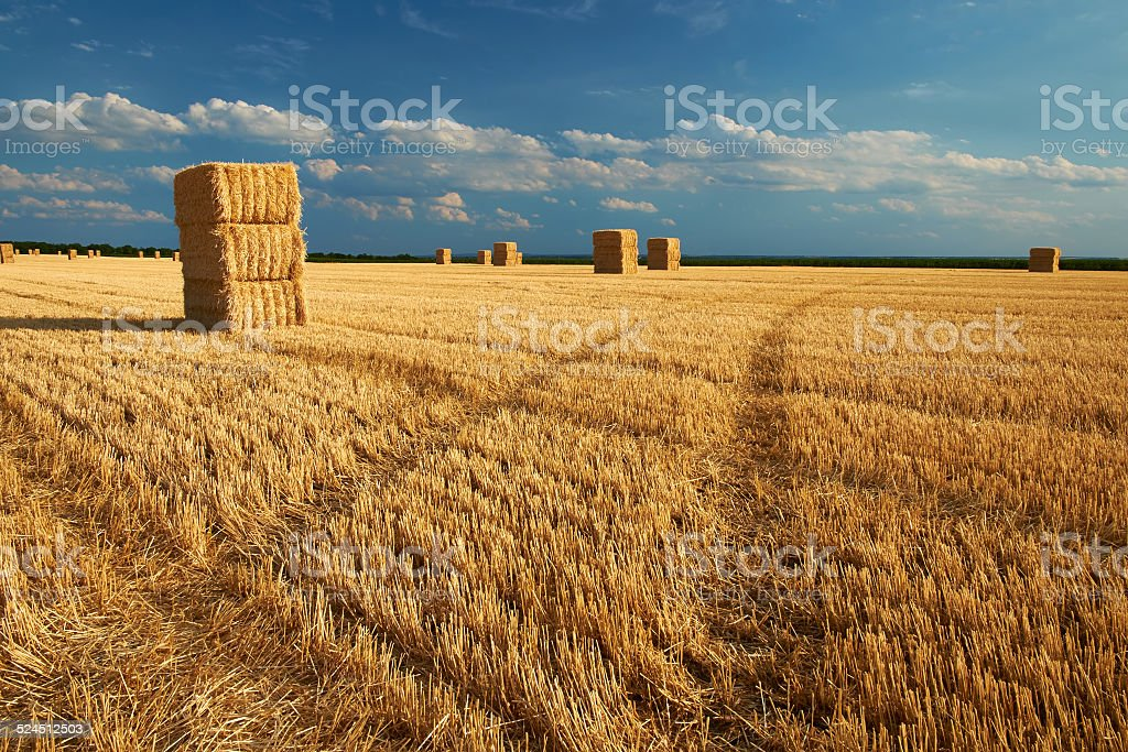 Bales on the harvested field stock photo