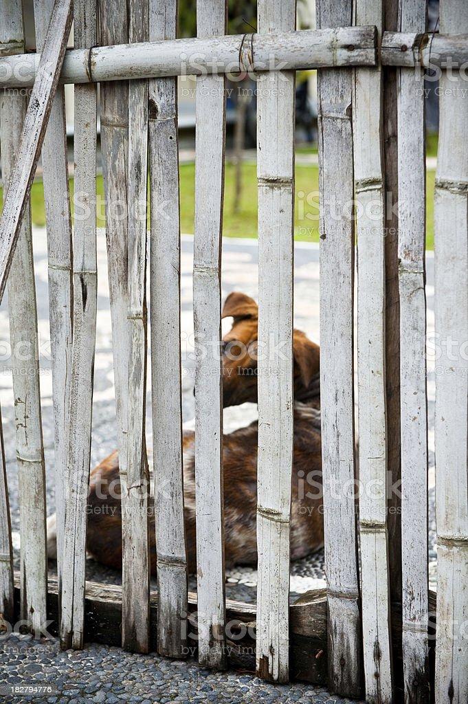 Bali dog mangy and filty behind brokwn fence stock photo