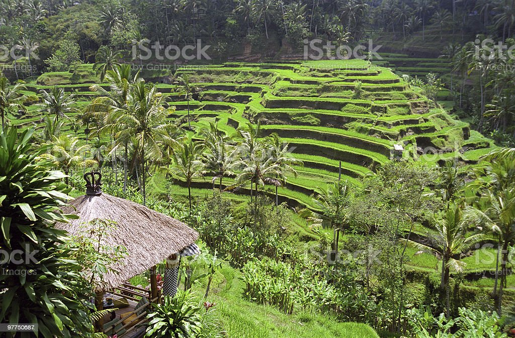 Bali Indonesia landscape  Agricultural Field Stock Photo