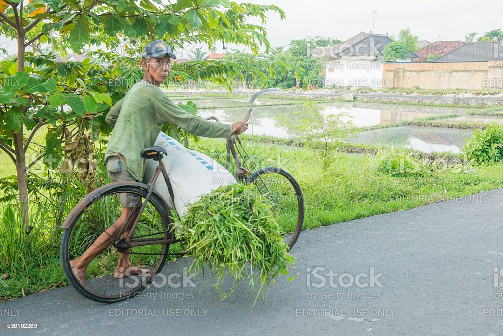 Bali Indonesia Senior Man Transports Crops with Bicycle stock photo