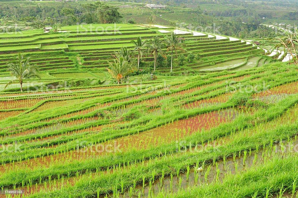 Bali Padi Fields royalty-free stock photo