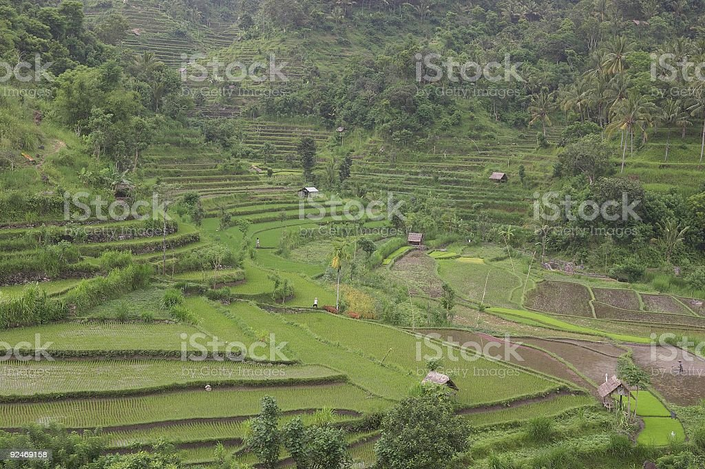 Bali Rice Terrace in Indonesia royalty-free stock photo
