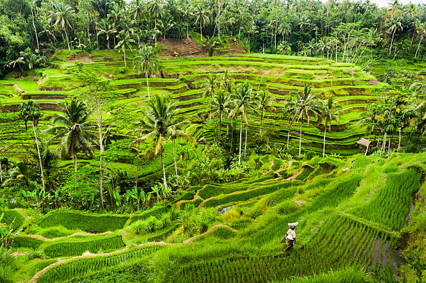 Bali Rice Terraces The rice fields terrace are works of art. One of the nicest is the Tegallalang, which is about 15 minutes from the center of Ubud.  This method of irrigation is known as Subak. rice paddy stock pictures, royalty-free photos & images