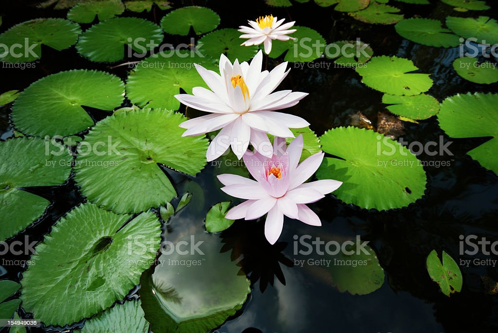 Bali Water Lily royalty-free stock photo