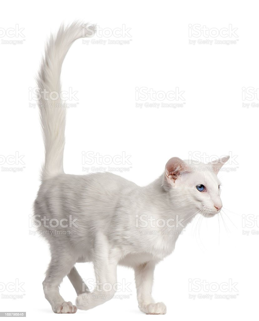 Balinese cat, 1 year old, walking stock photo