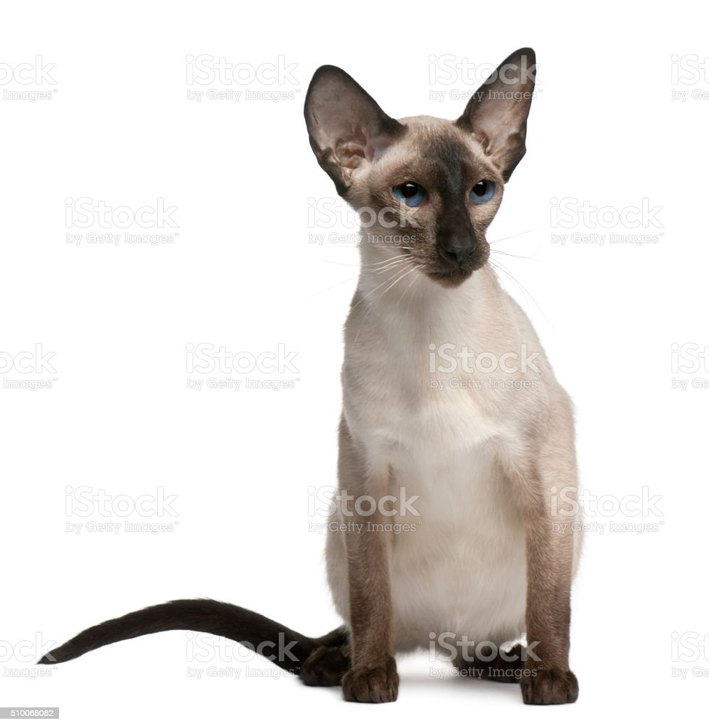 Balinese cat, 5 years old, sitting stock photo