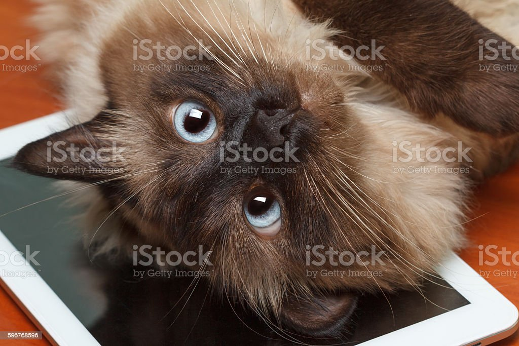 Balinese cat lying on the tablet stock photo