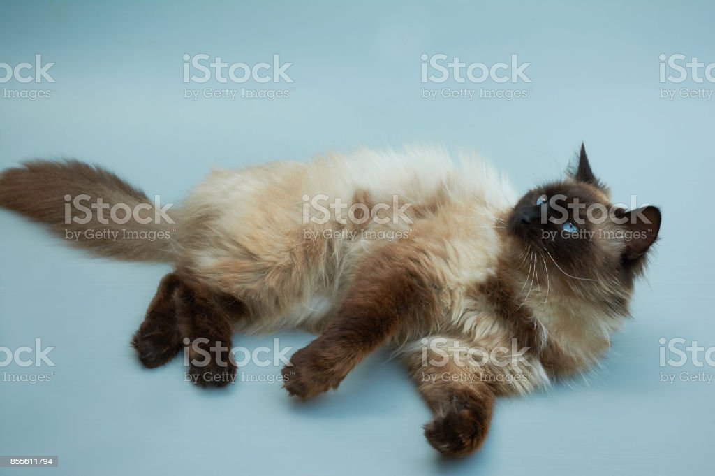 Balinese cat stock photo