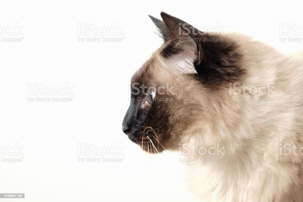 Balinese cat sitting on white background stock photo