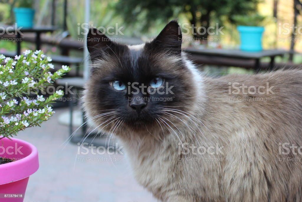 Balinese Cat with Blue Eyes stock photo