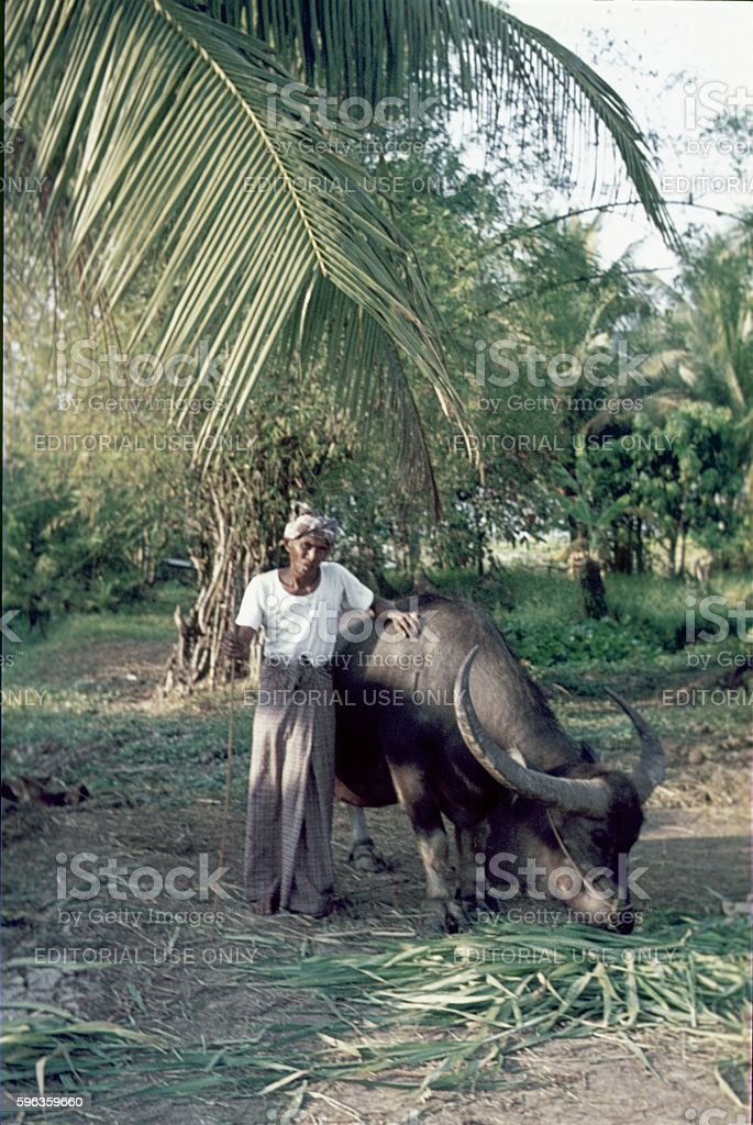 Balinese farmer with water buffalo, Bali royalty-free stock photo