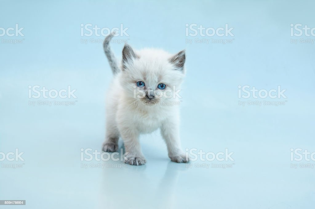 Balinese kitten stock photo