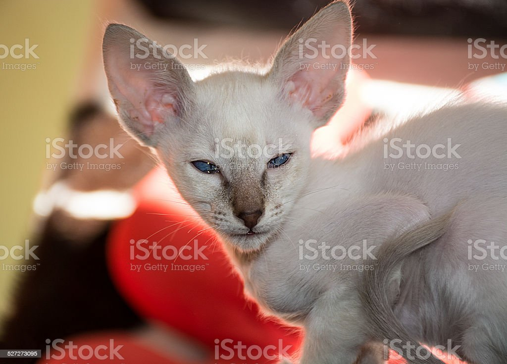 Balinese kitten with tears stock photo