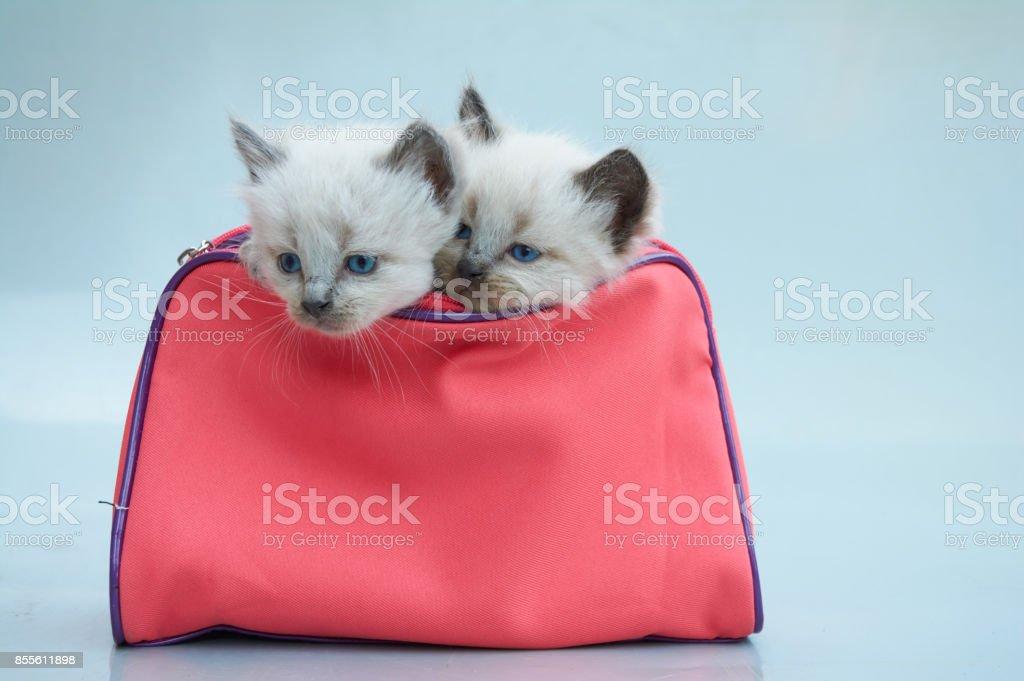 Balinese Kittens Stock Photo Download Image Now Istock