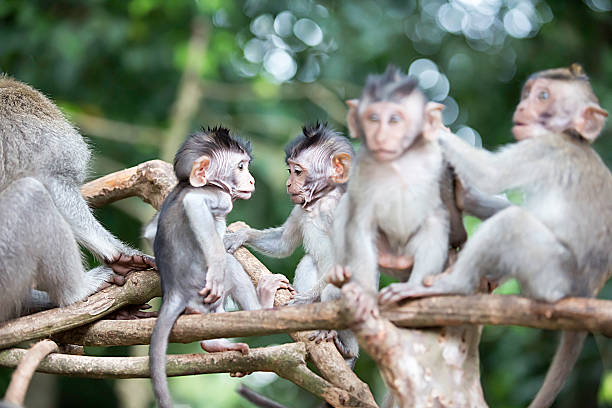 Balinese long tailed baby macaque monkeys. stock photo