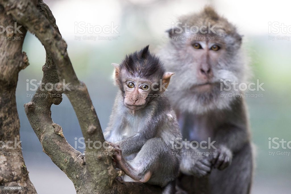 Balinese long tailed macaque monkey mother and child stock photo