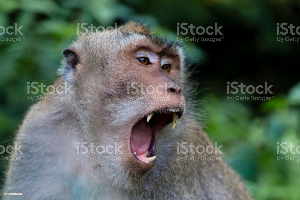 Balinese long-tailed monkey at Monkey Temple, Ubud stock photo