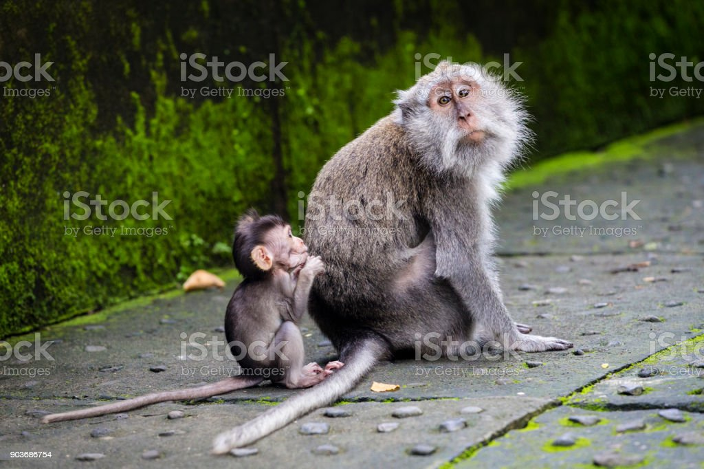 Balinese long-tailed monkey at Monkey Temple, Ubud stock photo