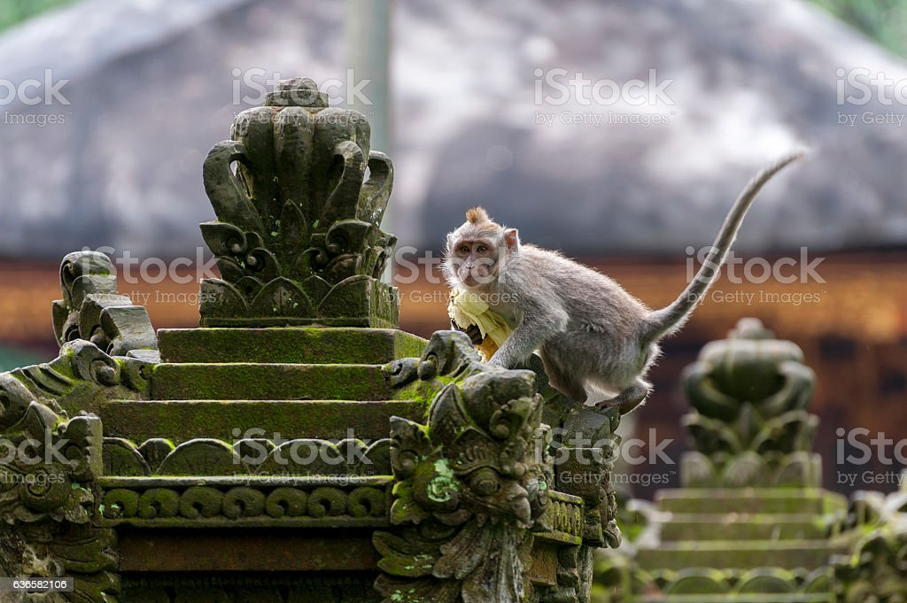 Balinese long-tailed monkey stock photo