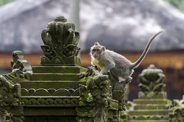 Balinese long-tailed monkey stock photo