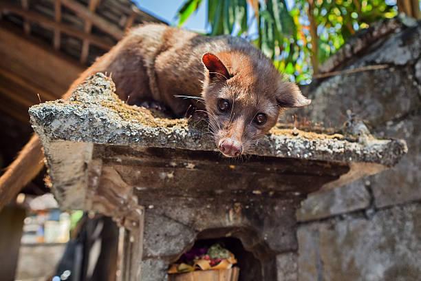 luwak balinés viverra hacer más caros café en el mundo - gato civeta fotografías e imágenes de stock