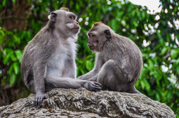 Balinese macaques in Monkey Forest in Ubud, Bali stock photo