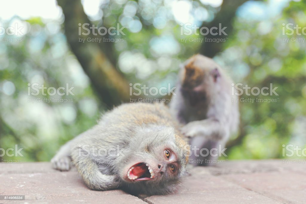 Balinese monkeys playing in the forest stock photo
