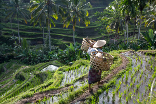 balinese rice field worker on rice field stock photo