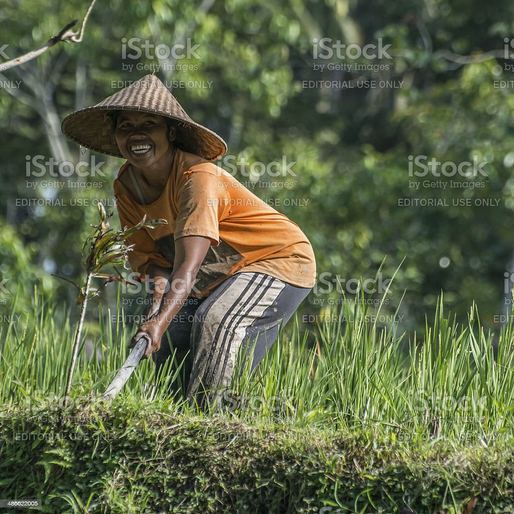 Balinese Woman working in Rice Field stock photo