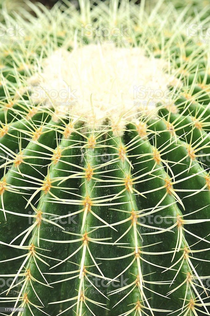 ball cactus royalty-free stock photo