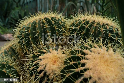 Ball cactus with a yellow top . parodia magnifica closeup in the botanic garden