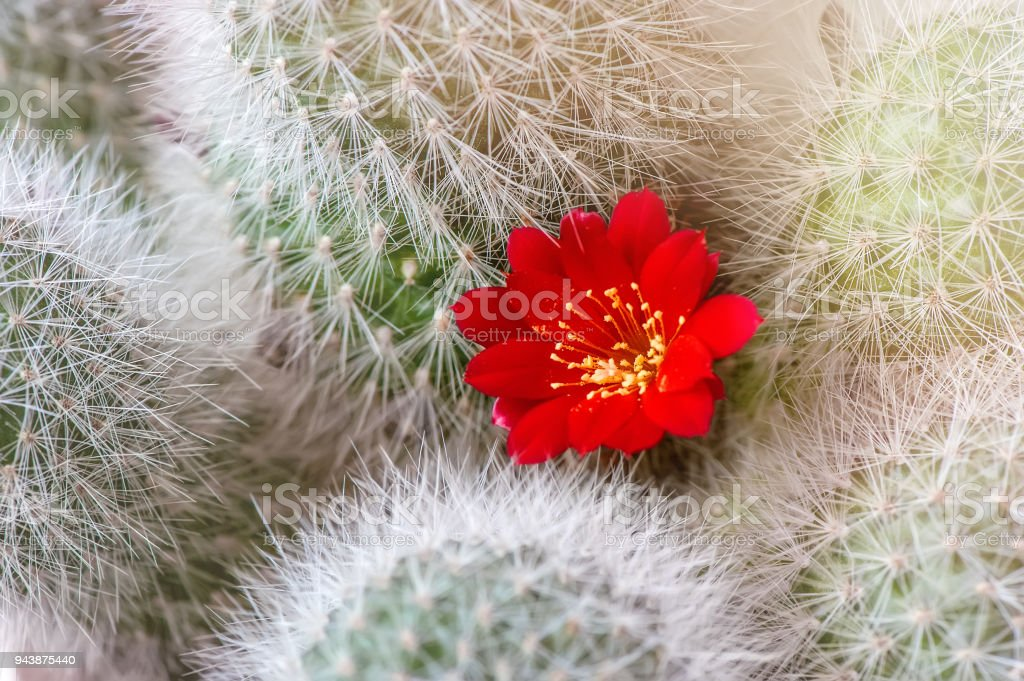 Ball cactus with lots of red cactus flowers on dichotomous yellow-blue background Selective focus. stock photo