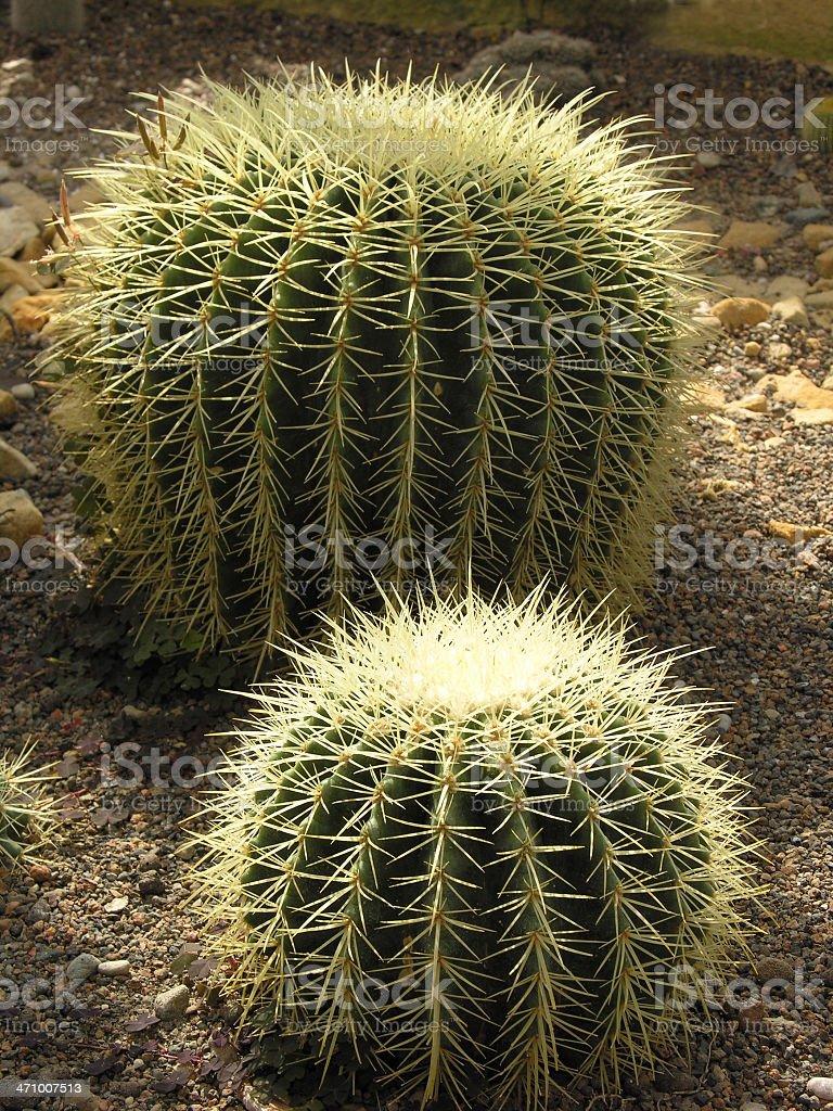 Ball cactuses royalty-free stock photo