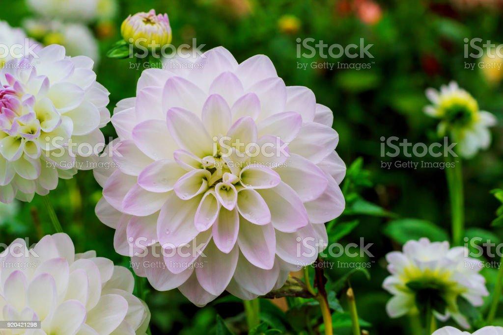 Ball Dahlias white flower in raindrops stock photo