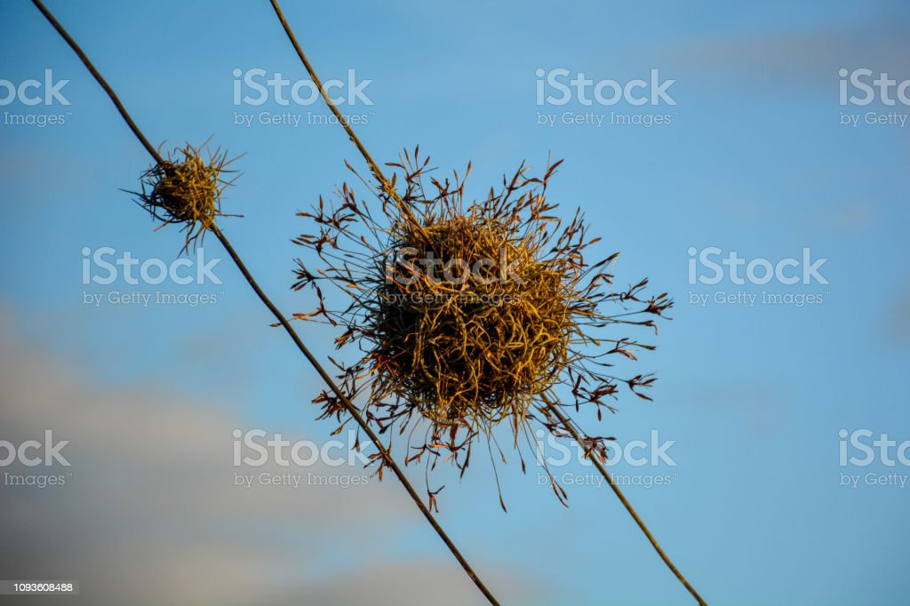 A ball moss (Tillandsia recurvata) isolated growing on energy wires against blue sky.