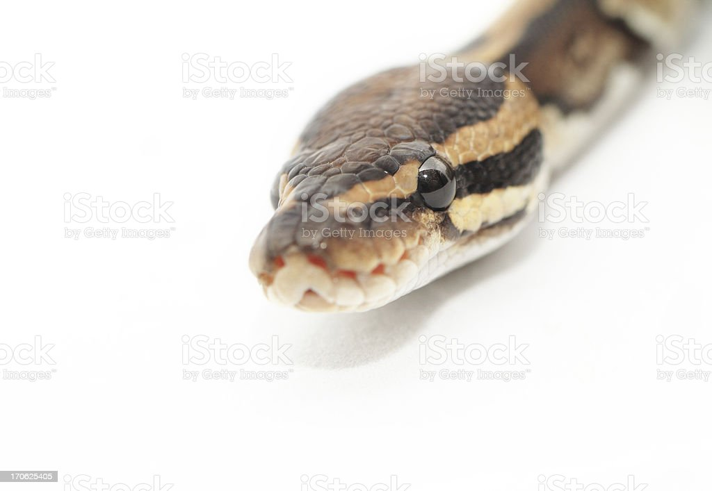 Ball Python close up royalty-free stock photo