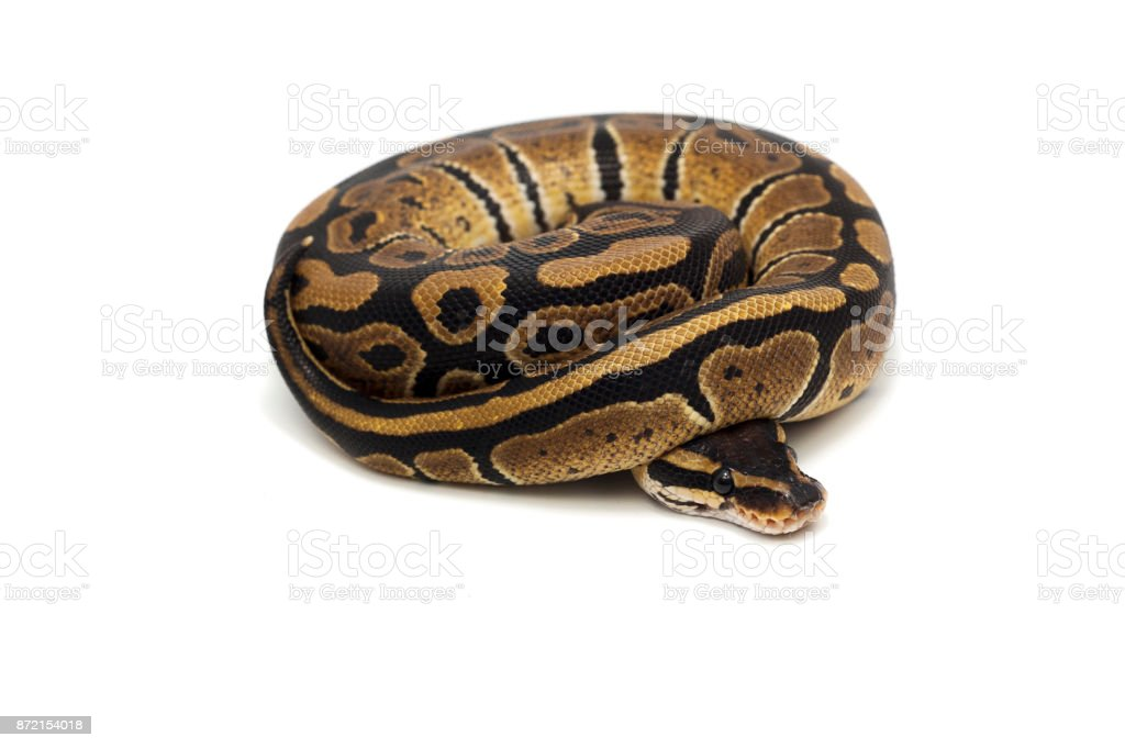 ball python isolated on white background stock photo