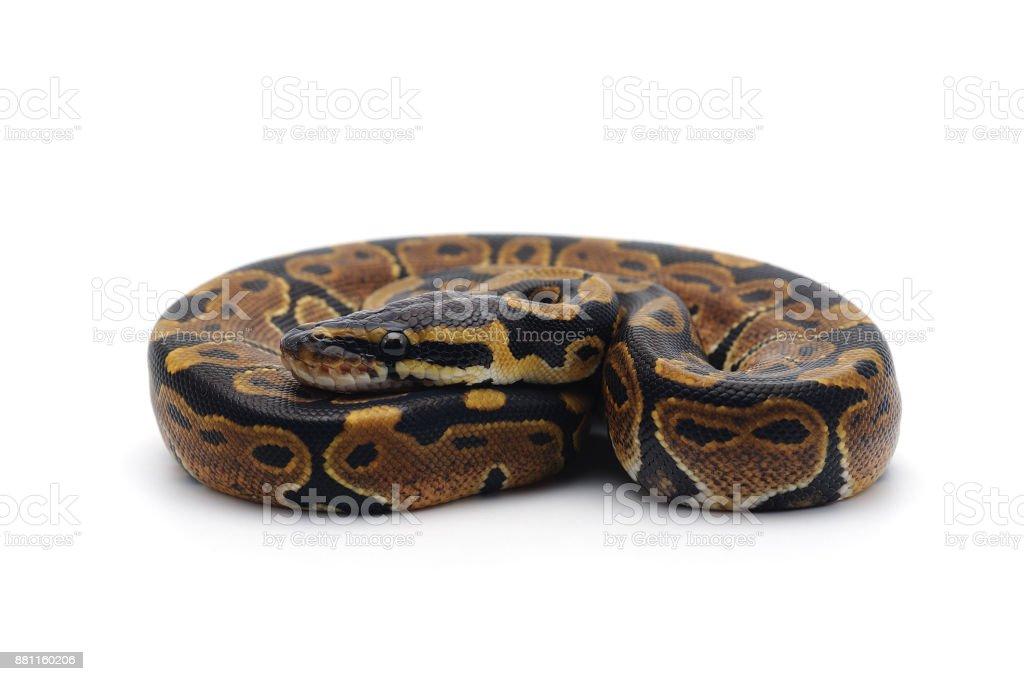 ball python isolated on white background stock photo