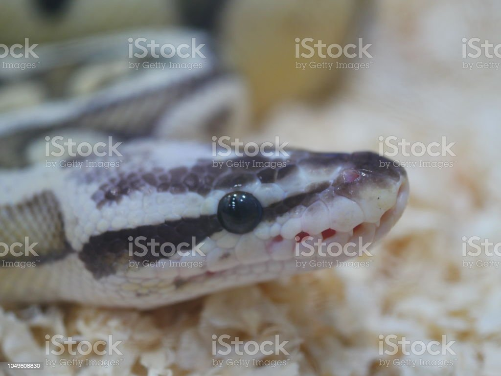 Ball Python Stock Photo & More Pictures of Actor - iStock