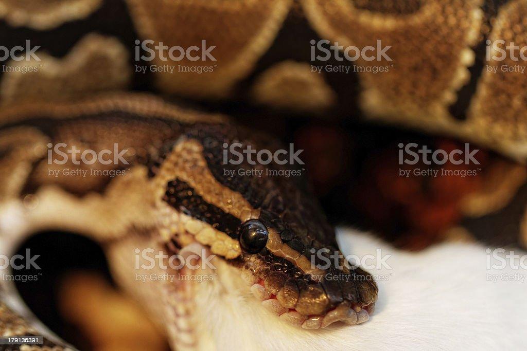 ball python royalty-free stock photo