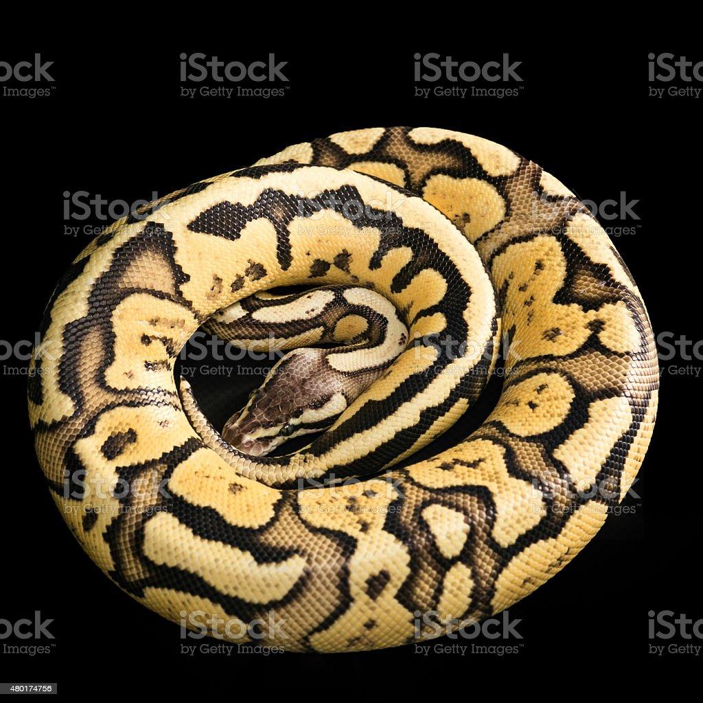 Ball Python -Python regius stock photo