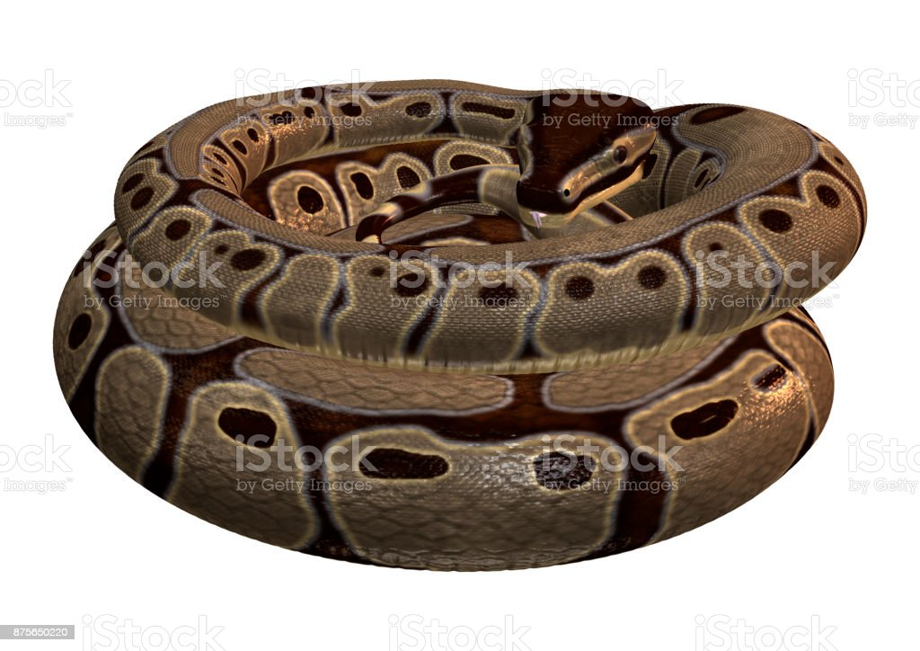 Ball python snake on white stock photo