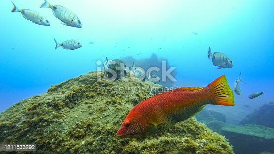 Ballan wrasse (Labris bergylta) swimming over a reef off the coast of Madeira island in the Atlantic Ocean. Various species of fish are swimming around, including White Sea Bream.